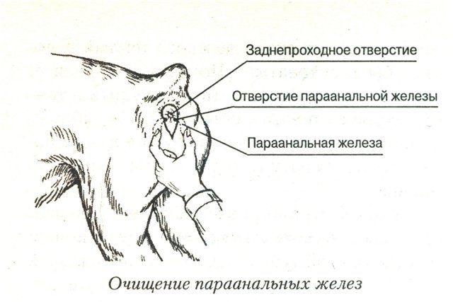 Как чистить железы у котов