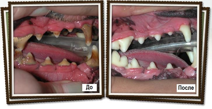 Владельцы должны регулярно осматривать зубы своих любимых питомцев и при появлении первых симптомов незамедлительно обращаться за специализированной помощью в ветеринарную клинику, иначе это может привести к ряду осложнений