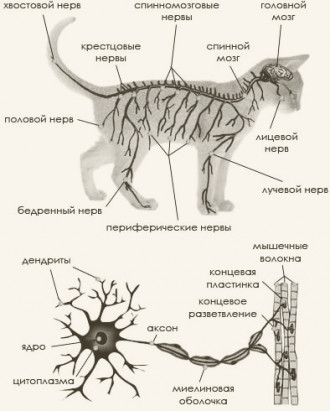 Составные части нервной системы кошки