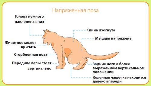 Заболевание сердца у кота