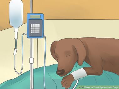 Лечение пиометры у собак антибиотиками ростов